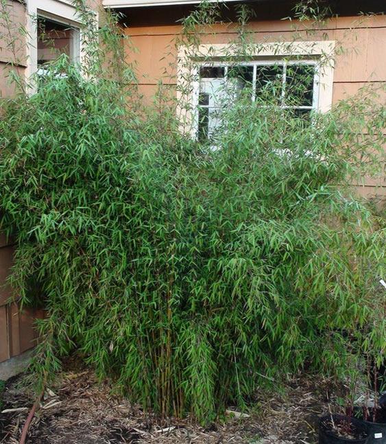 bambus pflanzenshop fargesia 39 jiuzhaigou 1 39 jade. Black Bedroom Furniture Sets. Home Design Ideas